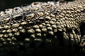 close up shot of crocodile skin, abstract animal background.