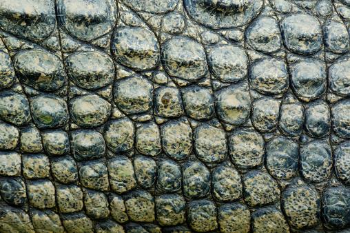 crocodile in Australian tropical rain forestRelated images: