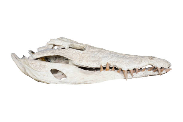 Royalty Free Crocodile Animal Abstract Anatomy Pictures Images And