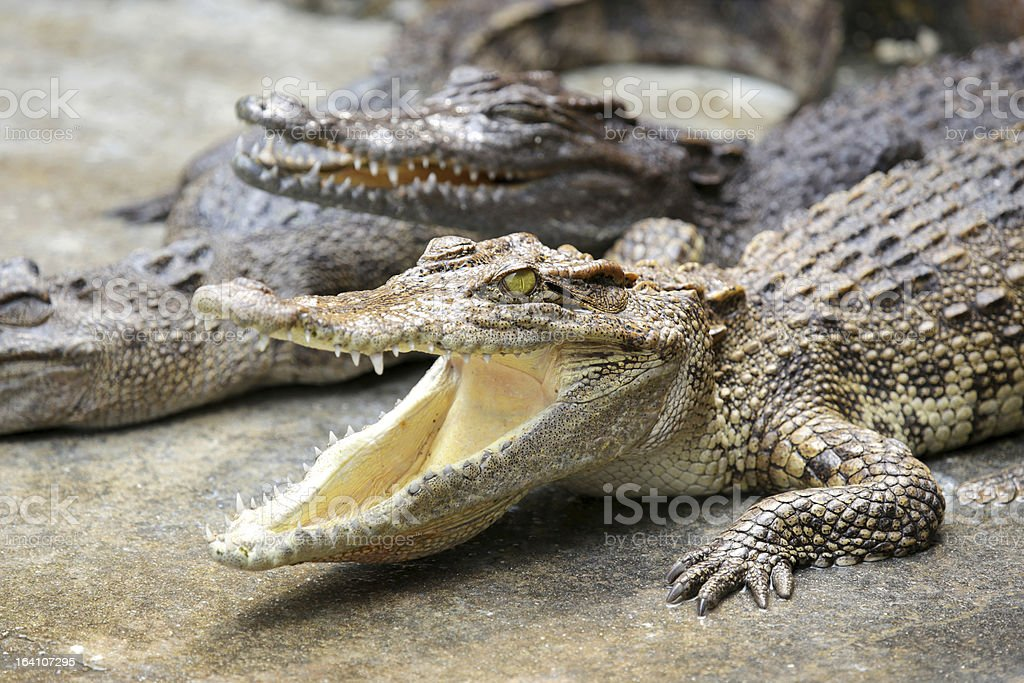 Crocodile Smile royalty-free stock photo