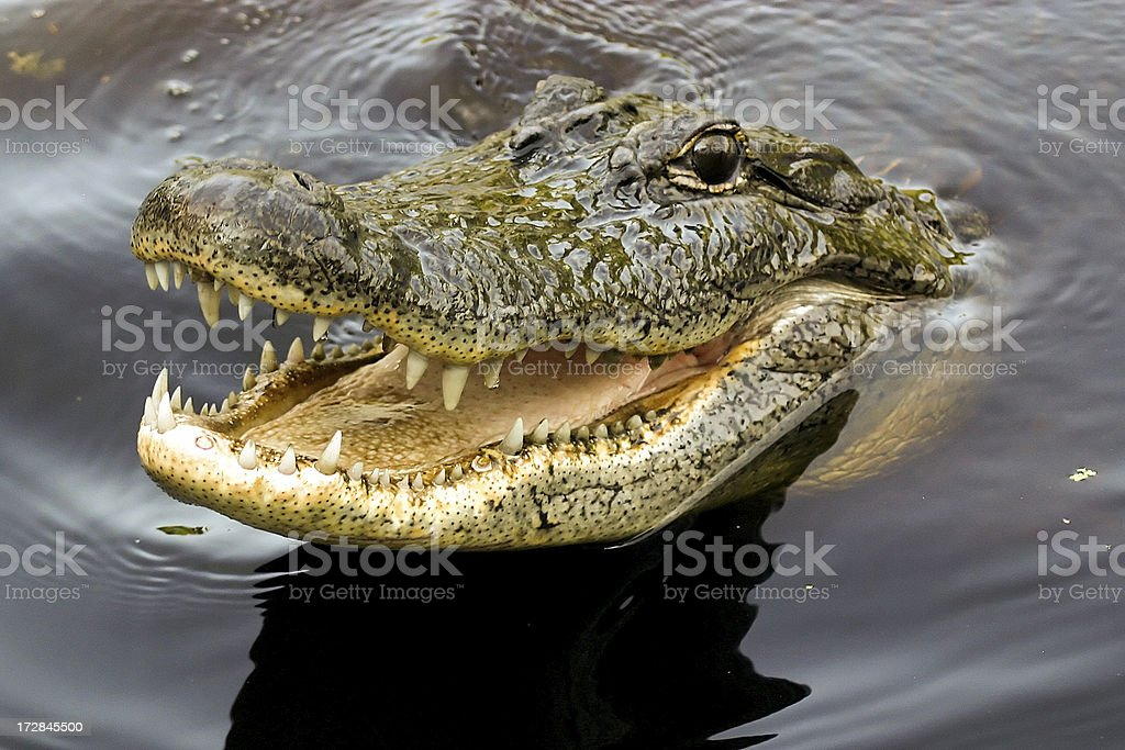 Crocodile Smile A crocodile from the Louisiana swamp grins for the camera Amphibian Stock Photo