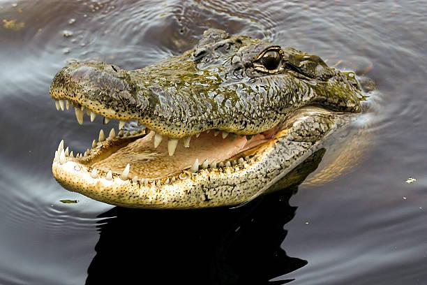 Crocodile sourire - Photo