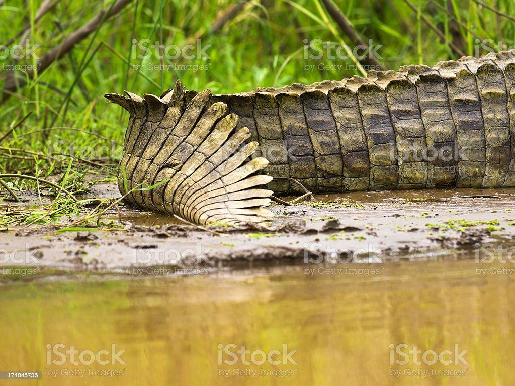 Crocodile Tail stock photo