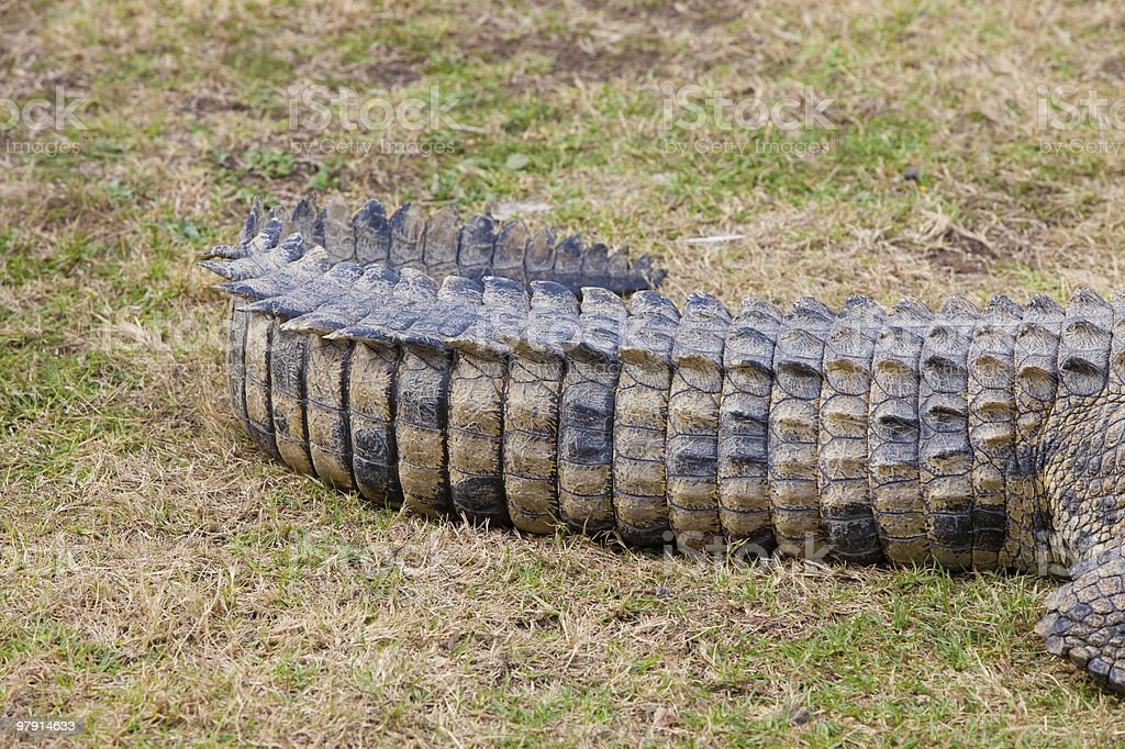 Crocodile tail showing scales royalty-free stock photo