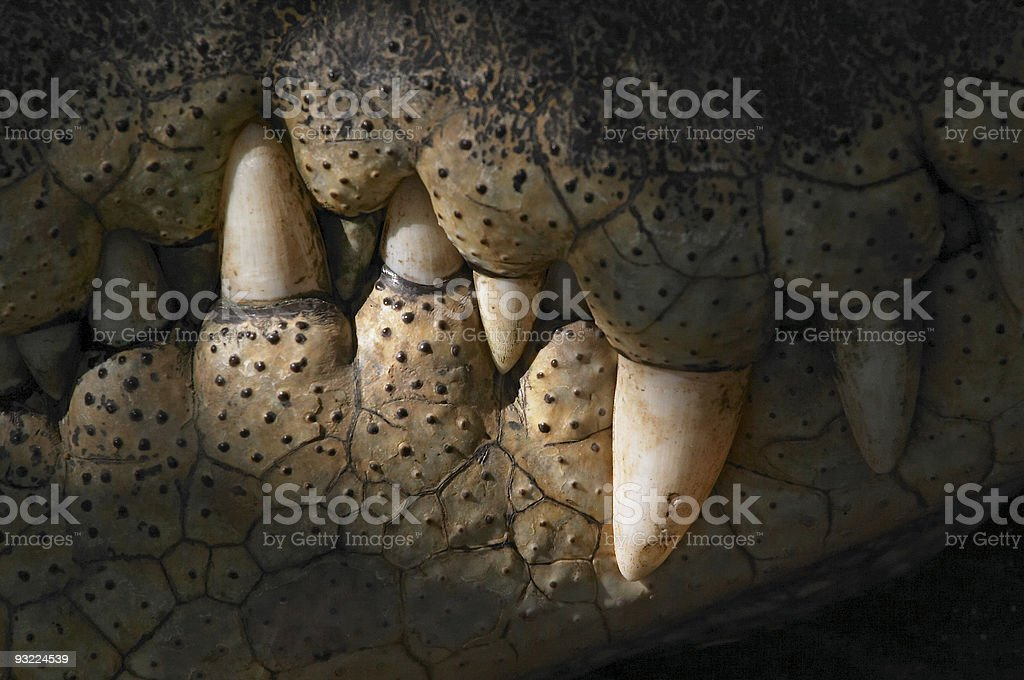 crocodile teeth stock photo