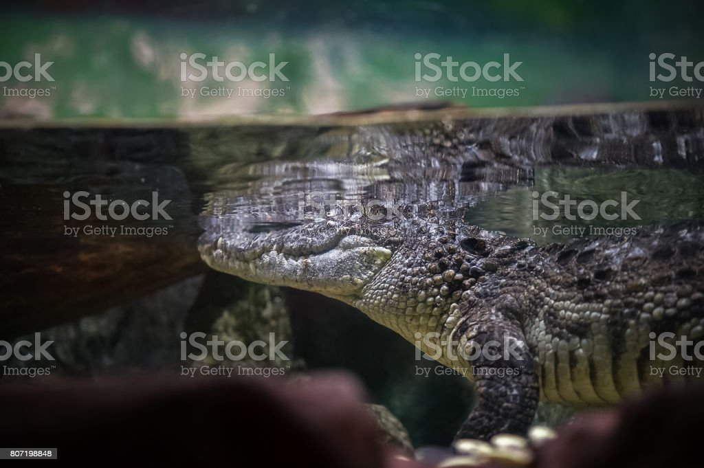 Crocodile underwater in the aquarium stock photo