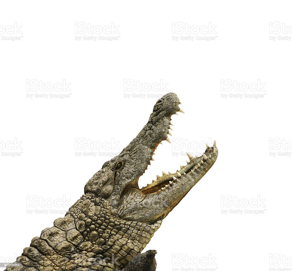 Crocodile wants eat stock photo