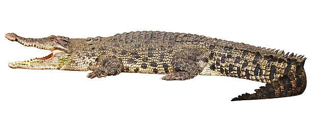 Crocodile avec un Tracé de détourage sur fond blanc - Photo