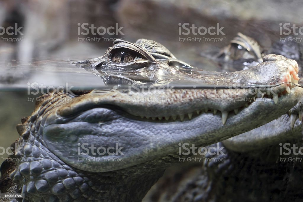 Crocodile with head above water hunting for food stock photo
