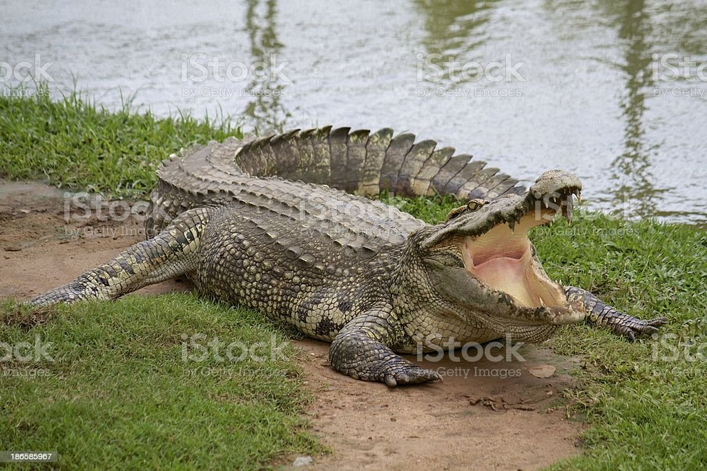 Crocodile with open mouth royalty-free stock photo