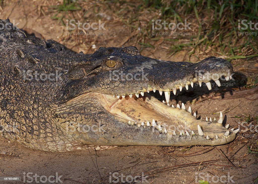 Crocodile With Open Mouth stock photo