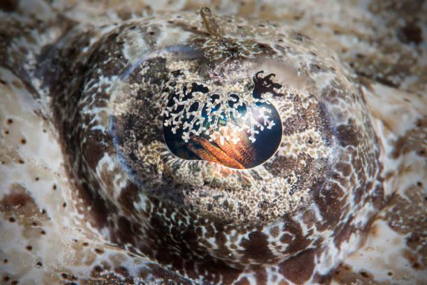 Crocodilefish Eye – Foto