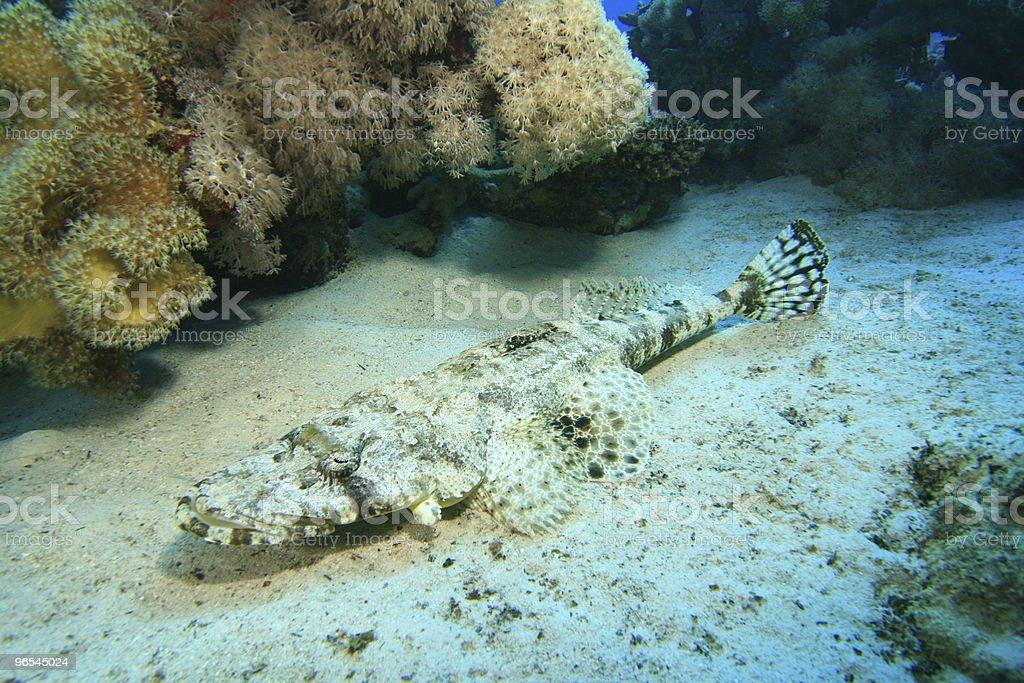 Crocodilefish royalty-free stock photo
