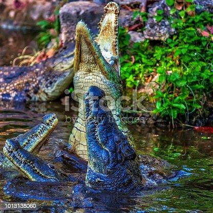 Crocodiles Feeding - Blurred Motion