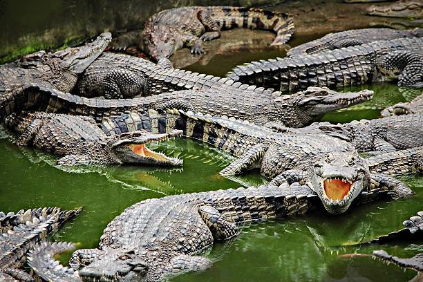 Crocodiles dans l'eau - Photo