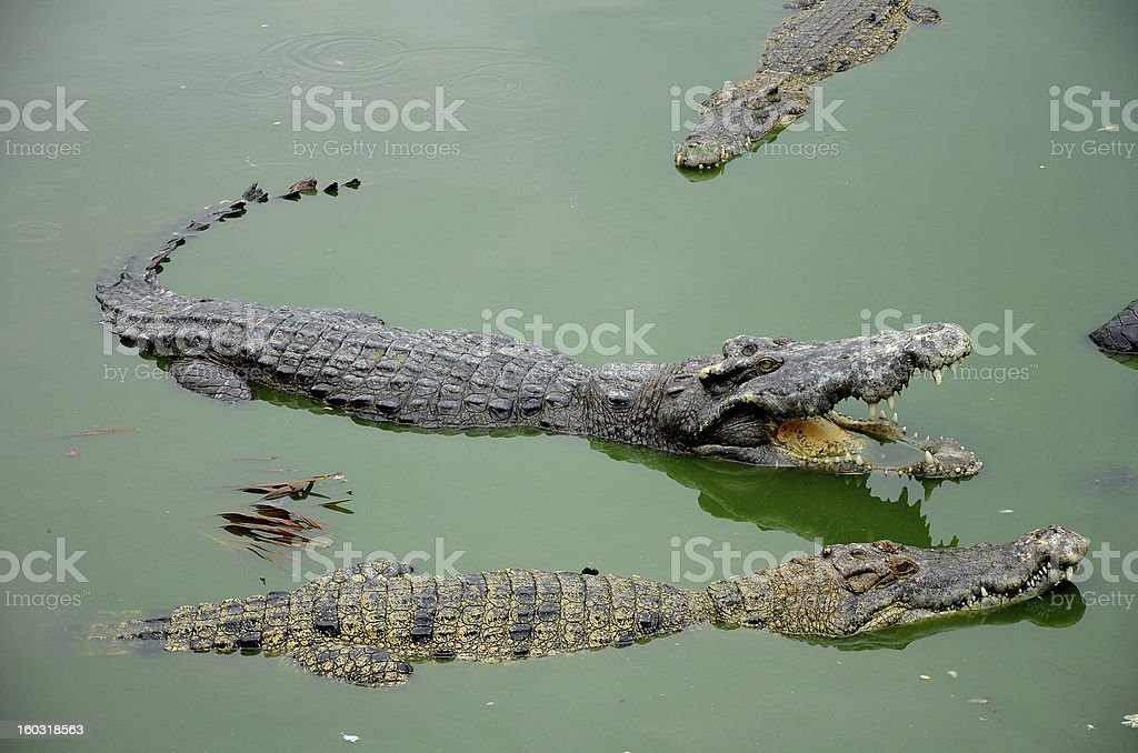 Crocodiles. royalty-free stock photo