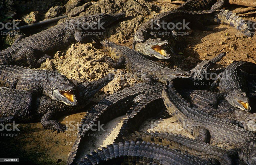Crocodilídeos foto de stock royalty-free
