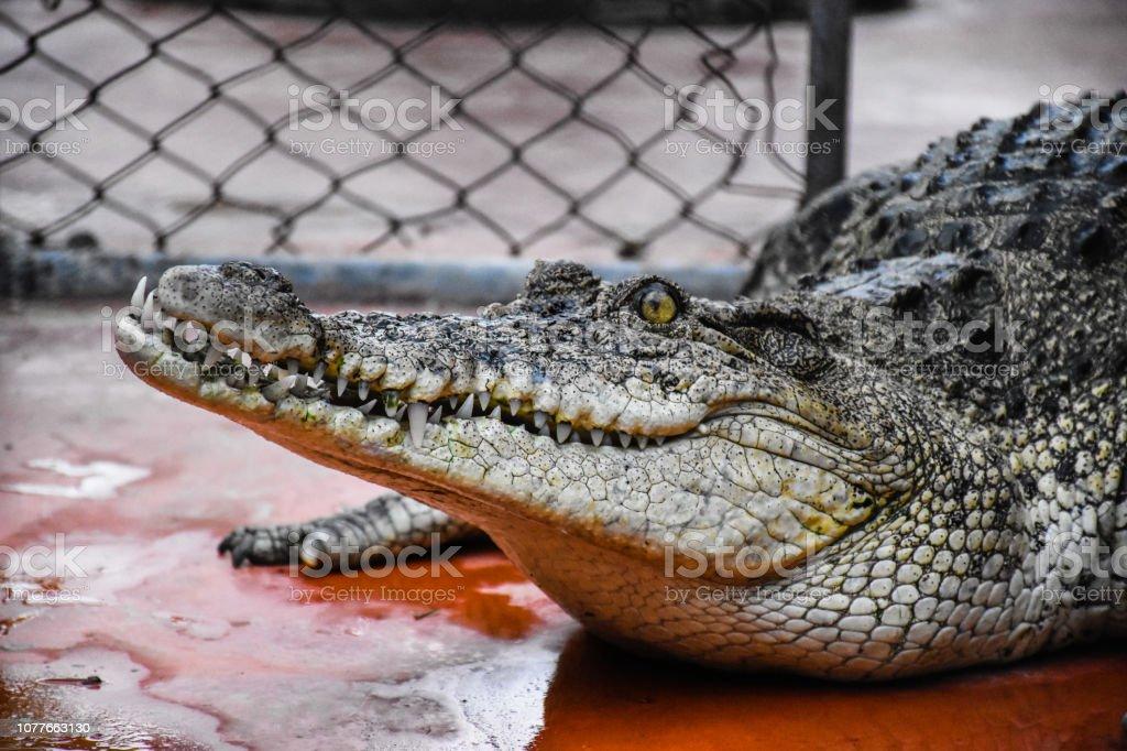 Crocodiles Resting and sharp teeth at Crocodile Farm in Thailand stock photo