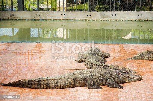 istock Crocodiles sleeping and resting in the park of Bueng Boraphet 669580214