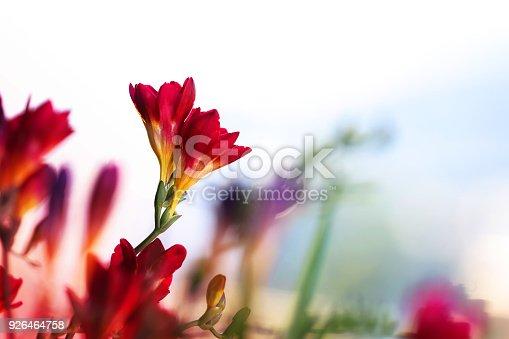Crocosmia Lucifer Flowers - Blurred Nature Background .
