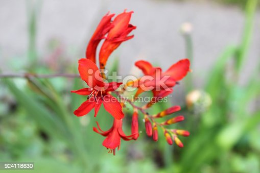Close up of crocosmia flowers in bloom.