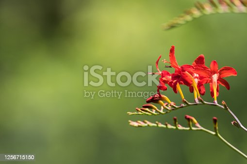 Crocosmia Lucifer, Montbretia, a beautiful red flower that attracts hummingbirds, soft green background copy space