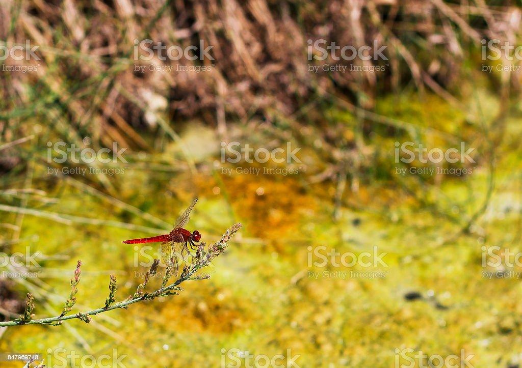 Crocothemis erythraea dragonfly sits on plant stock photo