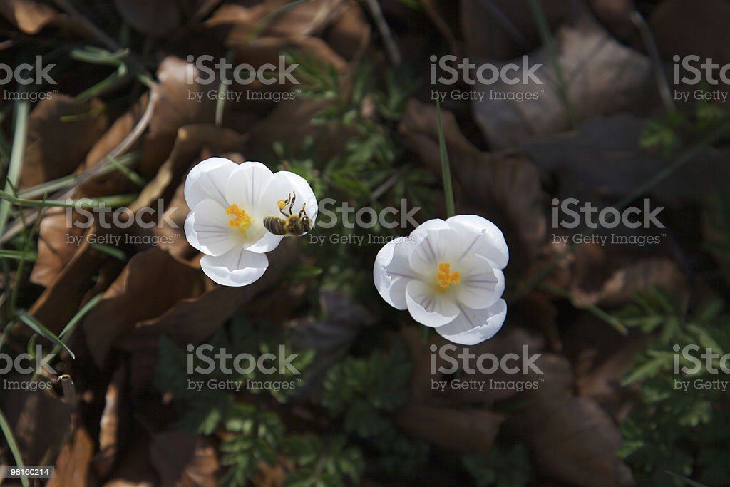 Crocus and Bee royalty-free stock photo