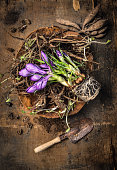 crocus and roots of flowers in bowl with  scoop on rustic wooden background
