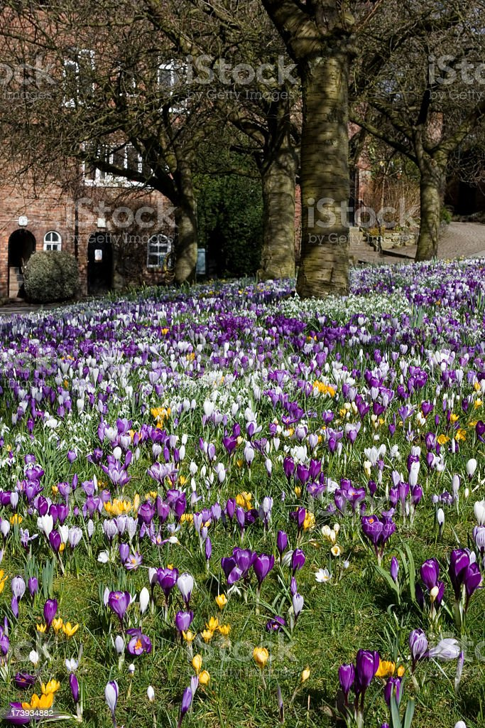 Crocus and snowdrops royalty-free stock photo