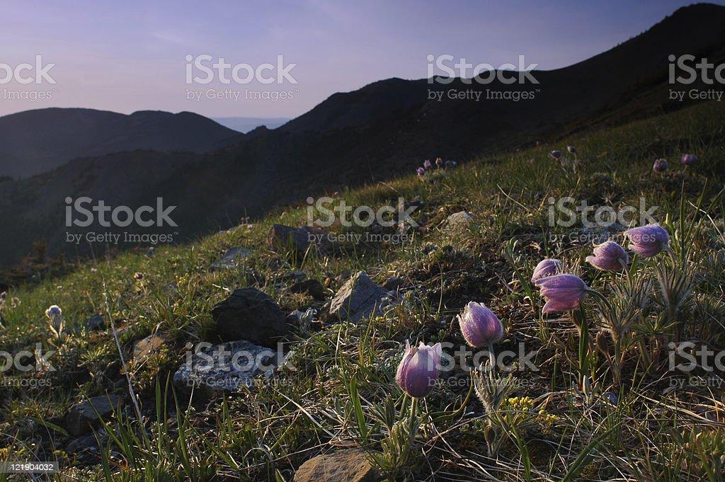 Crocus Bloom in Rockies royalty-free stock photo