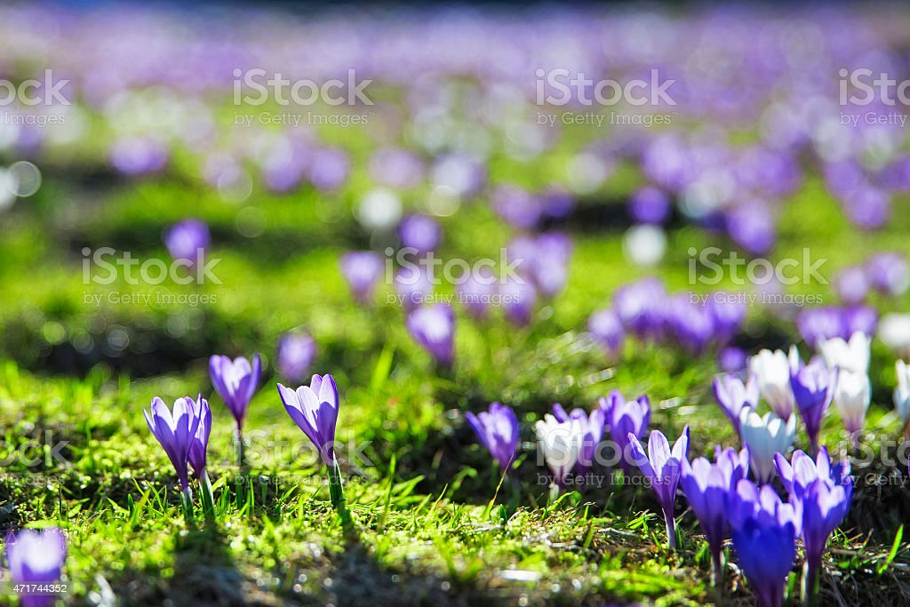 Crocus bloom in the Alps stock photo