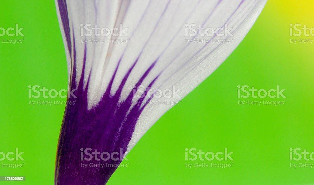 Crocus Bloom royalty-free stock photo