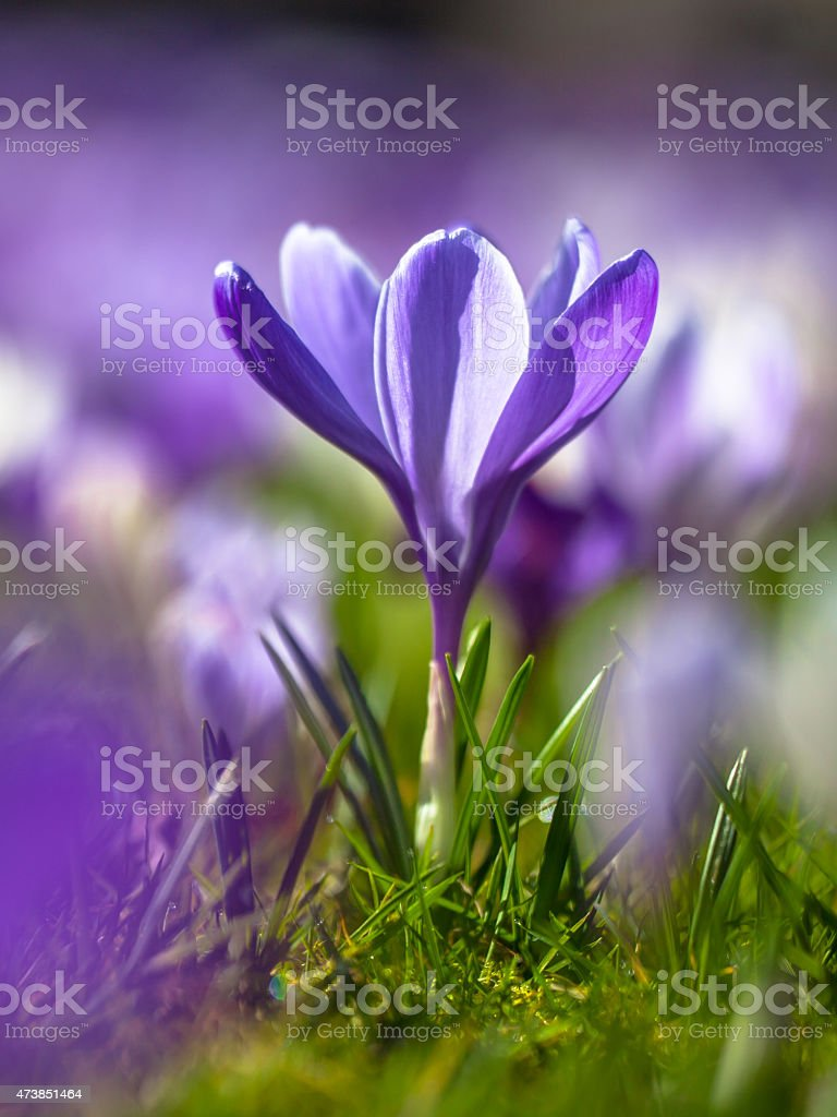 Crocus blooming first sun in march stock photo