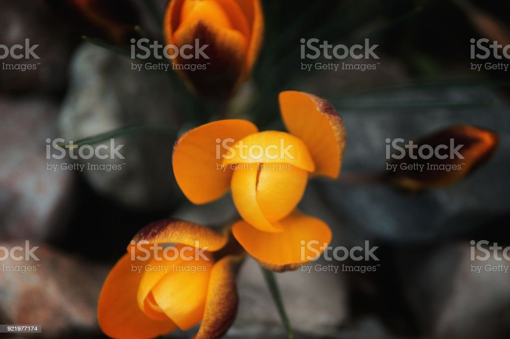 Crocus Blooming in Springtime on Gravel Substrate stock photo