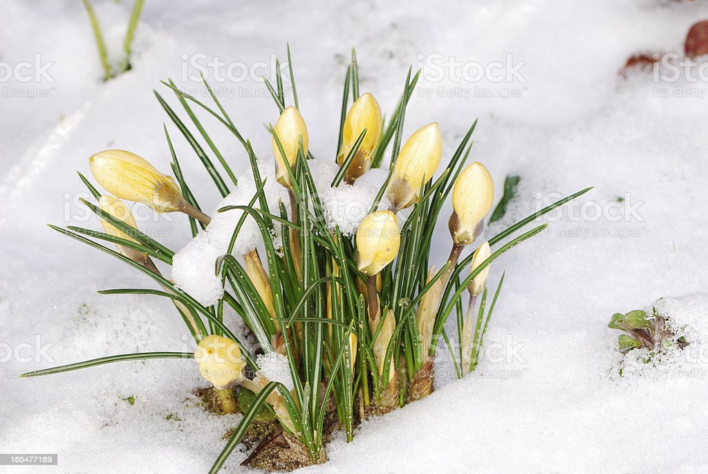 Crocus buds in the snow royalty-free stock photo