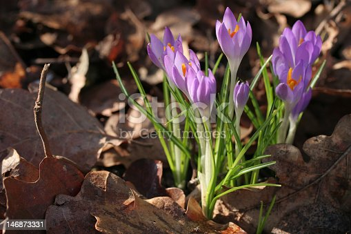 Close up view of a clump of backlit purple crocus flowers growing in woodland with a blurred background