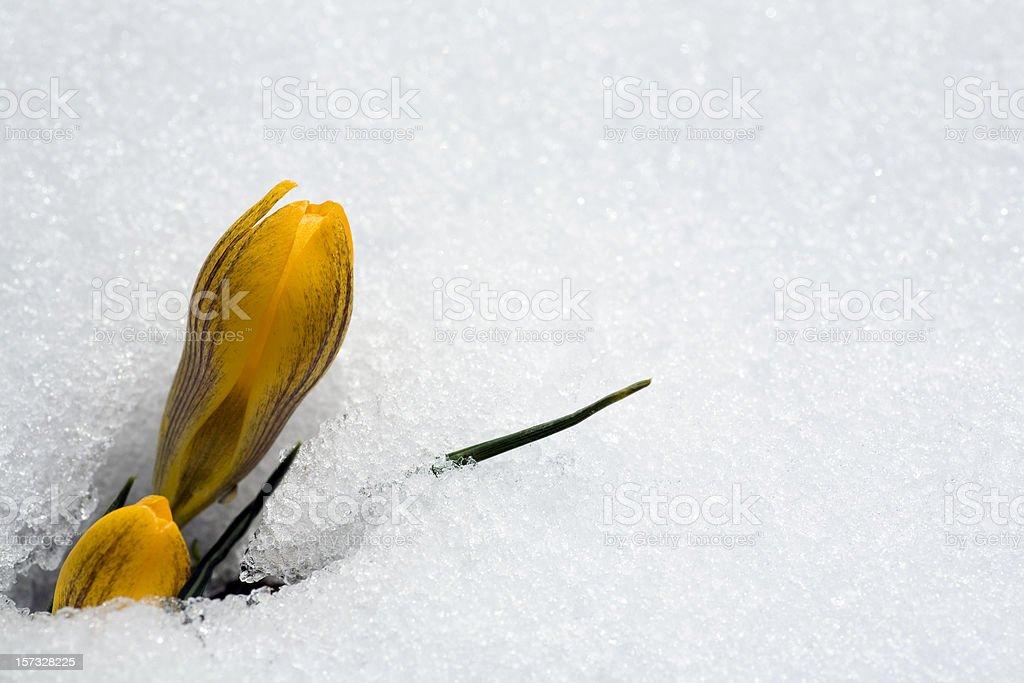 Crocus coming thru snow royalty-free stock photo