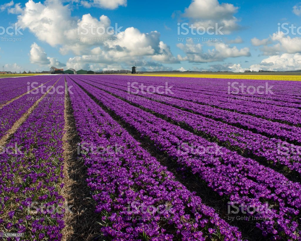 Crocus Field royalty-free stock photo