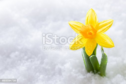 639394370istockphoto Crocus flower growing form snow. Spring start 693594738