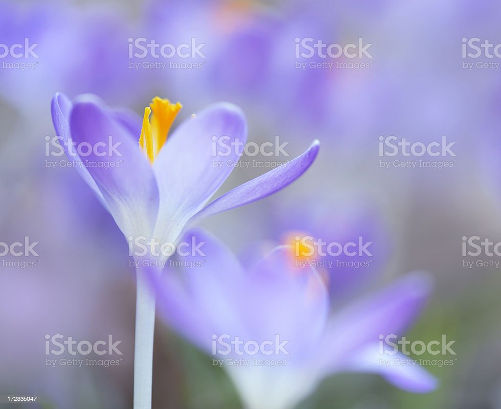 Crocus flower in a spring garden royalty-free stock photo