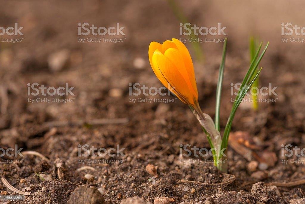 Crocus flower in soil royalty-free stock photo