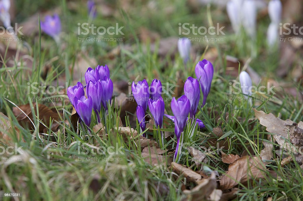 Crocus Flower in Spring royalty-free stock photo
