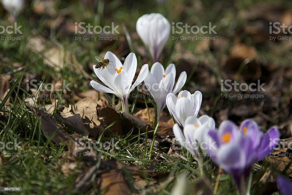 Crocus Flower in Spring with Bee royalty-free stock photo