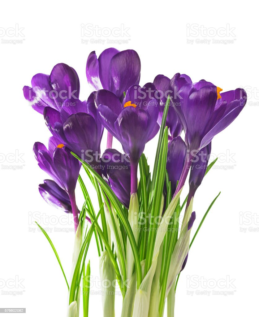Crocus flower in the spring isolated on white stock photo