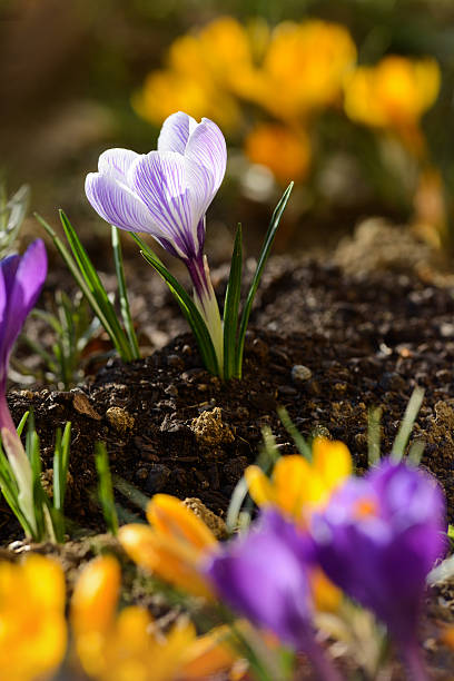 Crocus de fleurs - Photo