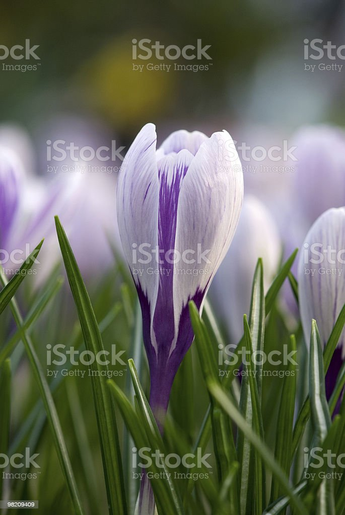 crocus flower royalty-free stock photo