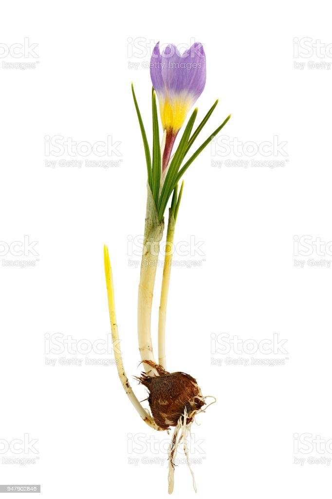 Crocus flower with root system photographed macro, isolated on white background. stock photo