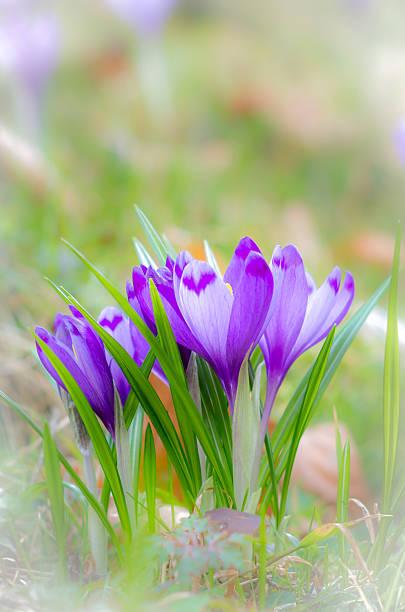 Krokus Blume mit flachen DOF von Feld im Frühjahr. – Foto