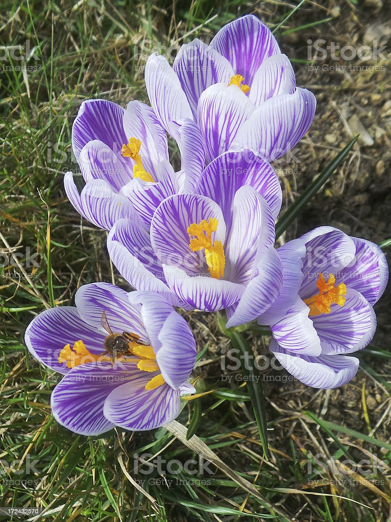 crocus flowers and a bee royalty-free stock photo